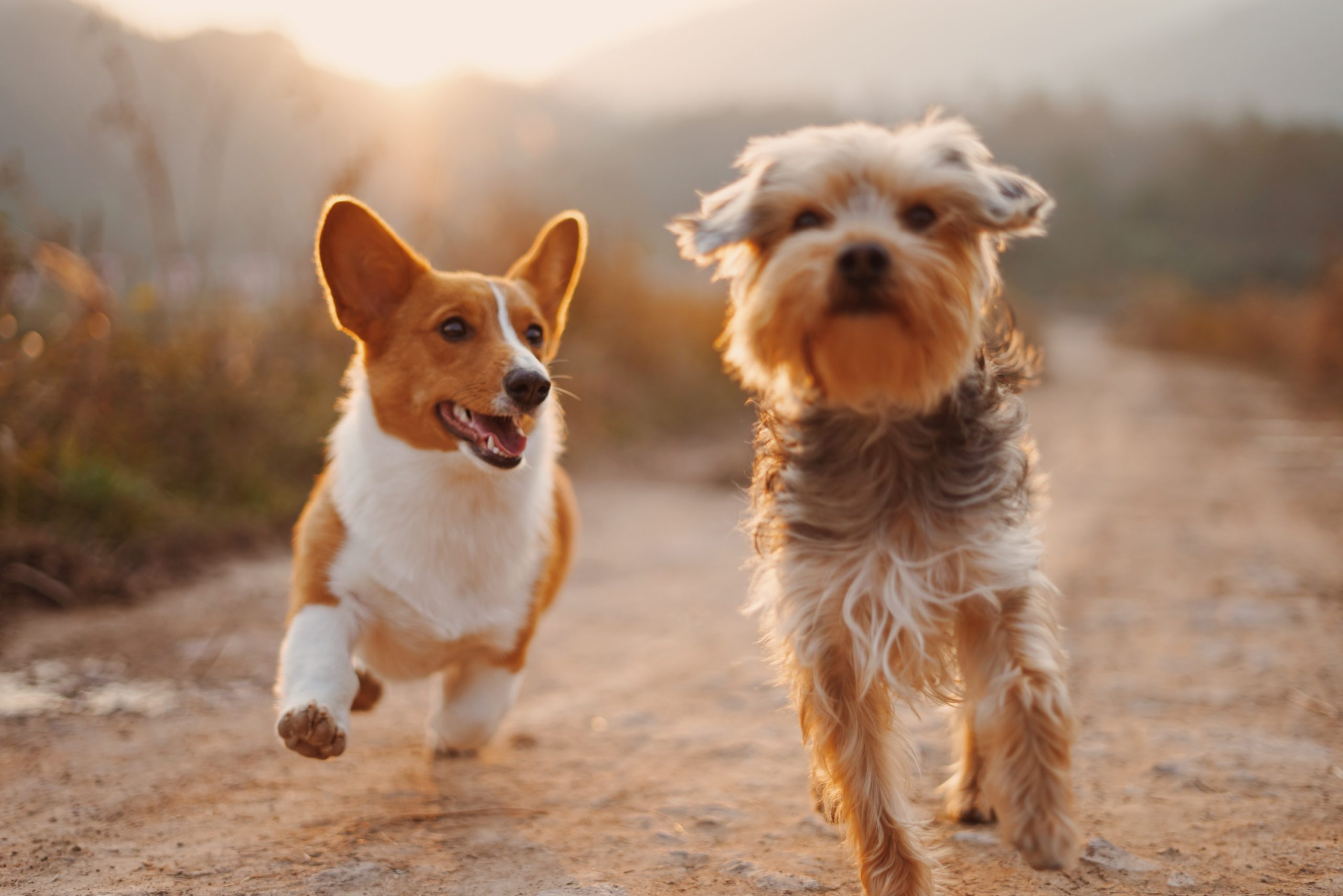corgi and yorki dogs running together